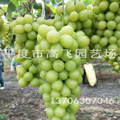 嫁接 扦插 阳光玫瑰葡萄苗 欧美种 南方种植葡萄苗 价格低