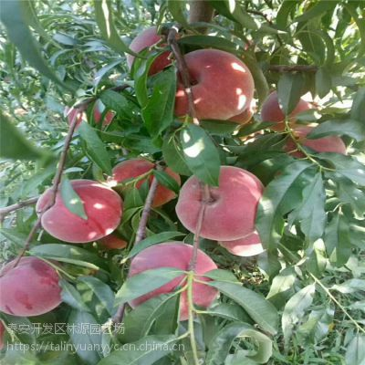 3公分占地桃树苗供应 3公分嫁接桃树苗价格 林源供应占地桃树苗