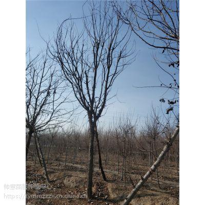 10公分皂角树报价 10公分皂角树什么价格