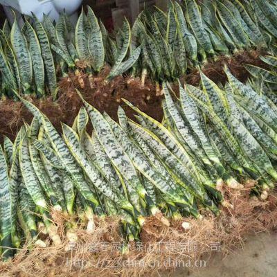 虎皮兰批发 金边虎皮兰出口 Sansevieria 高矮种虎尾兰种植基地