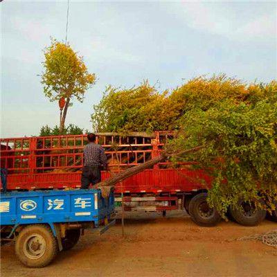 四川成都绿化工程苗木 行道树 金叶榆批发供应