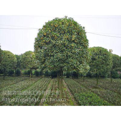 8-12公分桂花树工程苗装车价格?