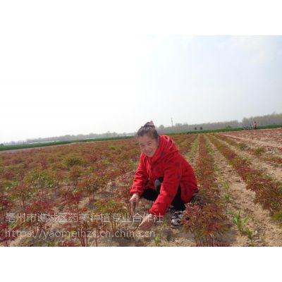 种植正宗白芍请选择白芍芽子 购买白芍种苗签合同
