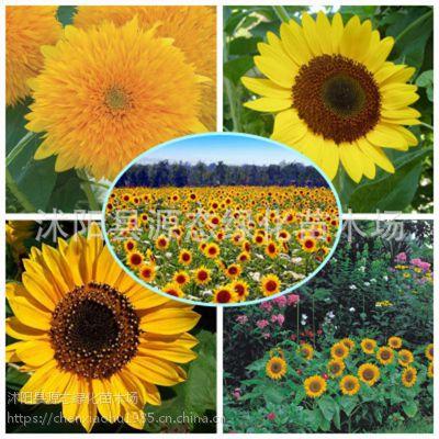 供应观赏向日葵花种子 盆栽 婚纱摄影园林绿化景观花卉种子花籽包邮