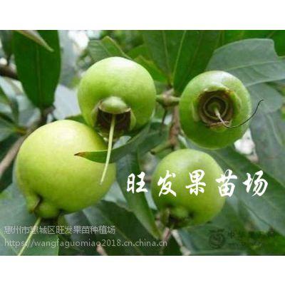大量供应水蒲桃苗果树苗 野生蒲桃树苗抗寒品种可盆栽地栽果苗 品种正宗量大价优