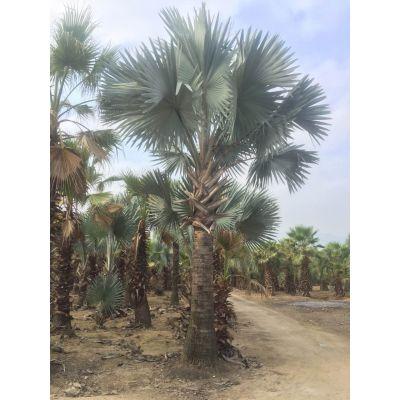 安徽霸王棕园林应用,安庆霸王棕杆高5米