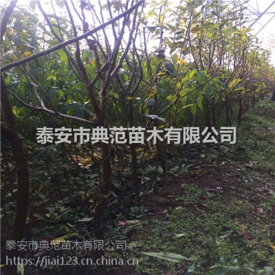 工程绿化梨树价格 工程绿化梨树多少钱一棵