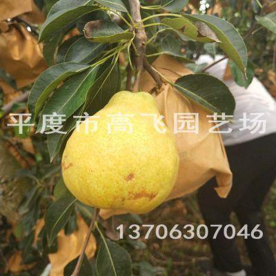 中华丑梨树苗 苹果梨 莱阳梨树苗