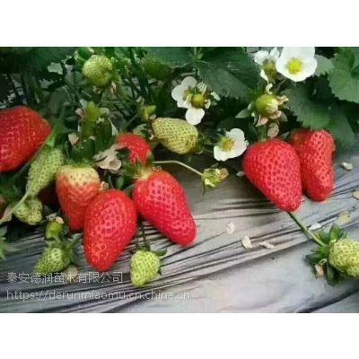 香野草莓苗多少钱一棵 香野草莓苗品种介绍