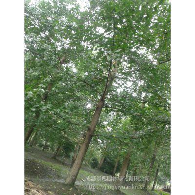 四川银杏基地供应行道树风景树大规格银杏 现挖现售