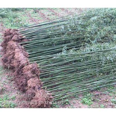 江苏早园竹基地、2公分3公分早园竹价格更便宜、当天发货