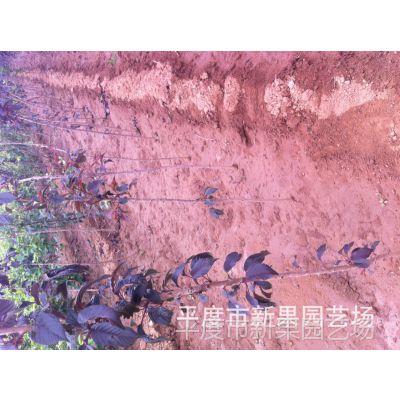 批发紫(红)叶李树苗 大泽山优质优选紫(红)叶李