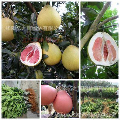 果树苗批发巨型柚子苗柚子树苗嫁接果苗天皇蜜柚苗 红心柚子包活