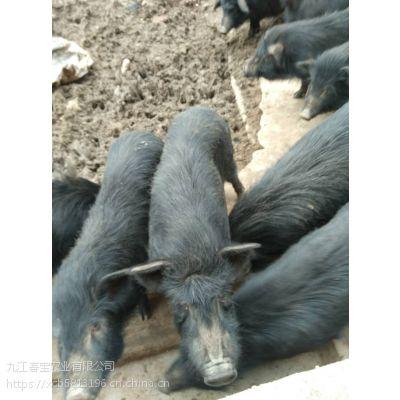 浙江余姚市藏香猪的市场前景怎么样