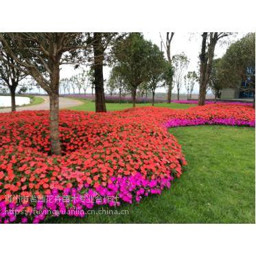 冬天常用的草花有哪些,冬天花卉批发采购@茗茜花卉基地一手供应