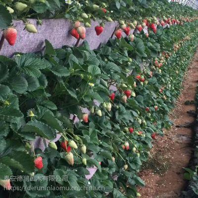 黔莓2号草莓苗多少钱一株 黔莓2号草莓苗2019年单价