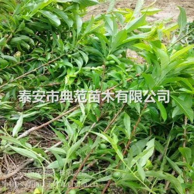 9月成熟秋姬李子苗基地 中熟李子苗品种