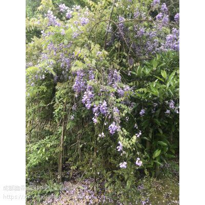 大量出售藤本植物紫藤种植基地,批发紫藤哦,质量好
