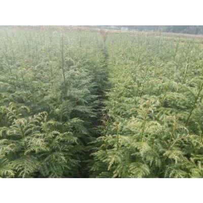 世界水杉母树产地-----水杉苗