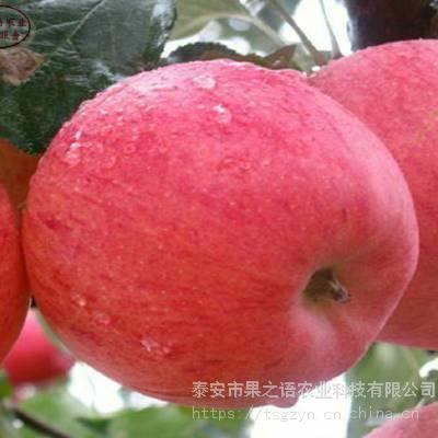 新品桃苗:中桃金阳桃树苗、中桃金阳桃树苗哪家好