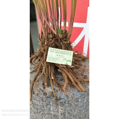 白芍芽子 白芍芽子免费传授技术 白芍芽子成活率高