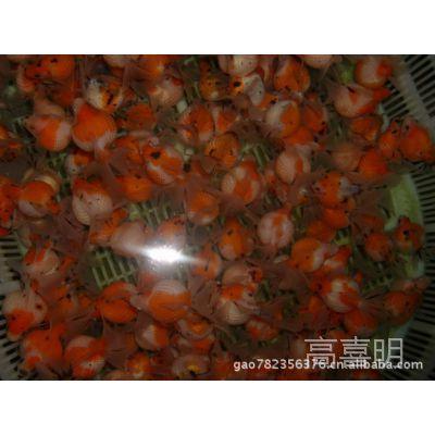 河南养殖基地大量批发各类金鱼 锦鲤  草金鱼等观赏鱼