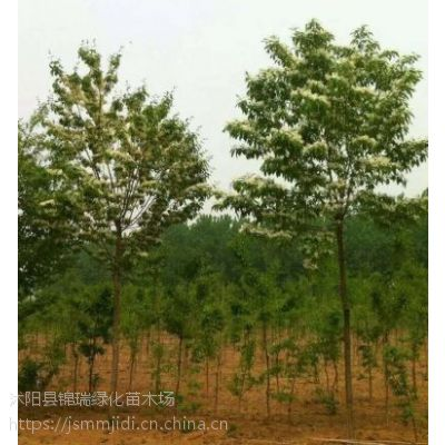 哪里卖流苏树便宜啊 江苏苗木基地流苏树价格实在、大小规格都有