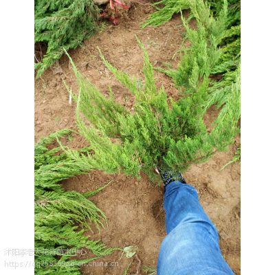 50公分高龙柏价格30公分-40公分高龙柏绿篱苗价格