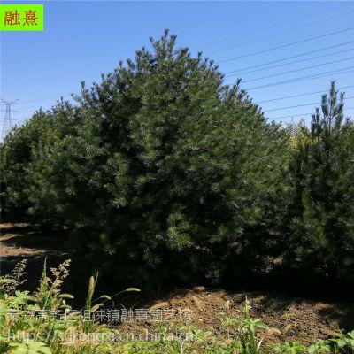 供应2米3米一级白皮松 树形饱满 价格优惠 山东白皮松树