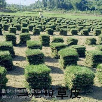 供应马尼拉草坪/农户直销/量大价优