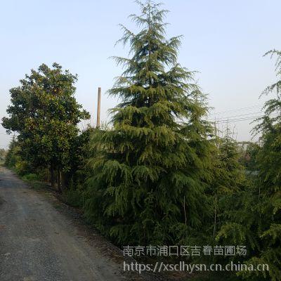 南京3米雪松价格 3米雪松树苗价格 4米雪松多少钱一棵