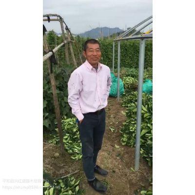 哪有三红柚子树苗多少钱一株(三红蜜柚苗)少量零售价格