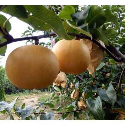 优良梨树幼苗基地订购