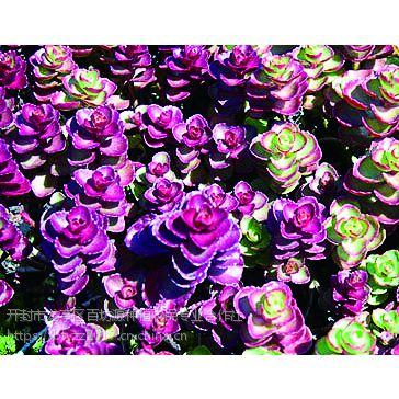 百坊源大型五色草种植基地 优质五色草批发 菊花造型定制中