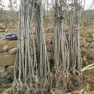 嫁接玉露香梨树苗 林源供应嫁接新品种梨树苗 全红梨树苗哪里有卖
