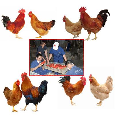 鸡苗怎么才能能赚钱 土鸡苗价钱 鸡苗孵化厂地址 土鸡苗市场位置在哪里