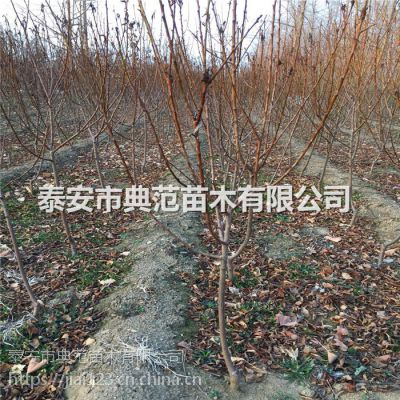 中熟李子苗多少钱一棵 中熟李子苗品种介绍