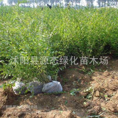 供应园林绿化灌木水腊球.100万株水腊直销.小叶水蜡销售价格