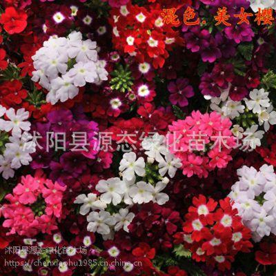 供应观花植物花卉花籽 美女樱花籽 质量保证 量大优惠 园林花海