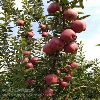 新品种苹果苗基地 响富 红富士系列 红肉苹果树苗等早中晚熟系列