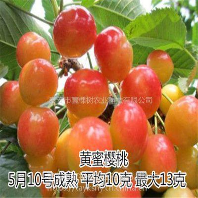 壹棵树农业金顶红车厘子苗种植技术