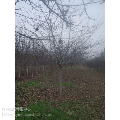 AAA高杆樱花树600株,树干高1.5米地径14公分冠幅260厘米价格1800元