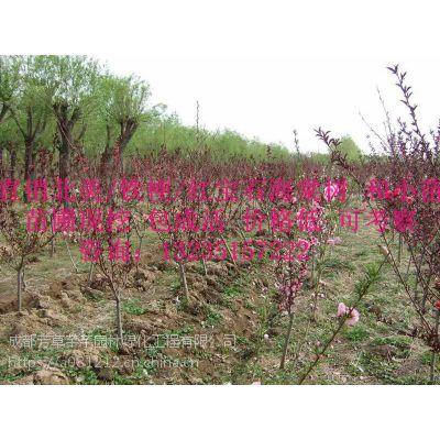 全国大量批发贴梗海棠,及其他草坪苗木等品种齐全