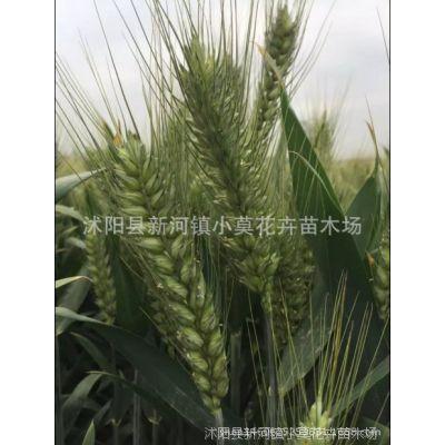 抗赤霉病抗旱抗盐碱小麦种子三抗10号