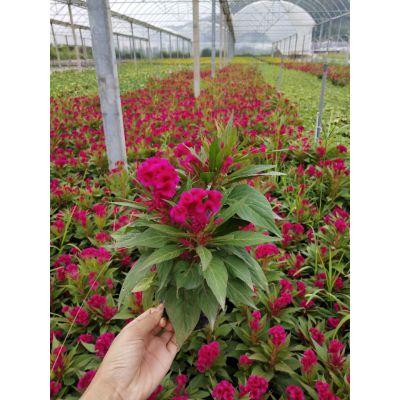 四川假植时花室内观赏,成都多头鸡冠花批发价多少