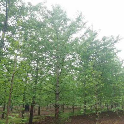 美邦远程 米径30公分银杏苗木 米径30公分银杏苗木批发价格