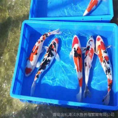 青岛昭和三色锦鲤