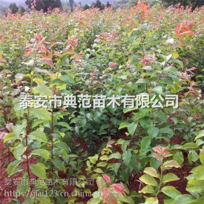 正品优质李子树苗 品质优良价格实惠
