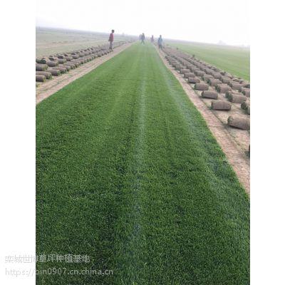 河北早熟禾草坪怎么养护管理