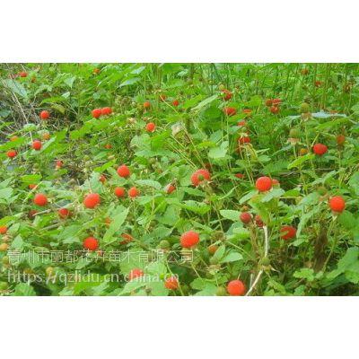 山东青州丽都花卉蛇莓小苗蛇莓产地欢迎采购